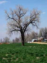 Oldest Tree in Town