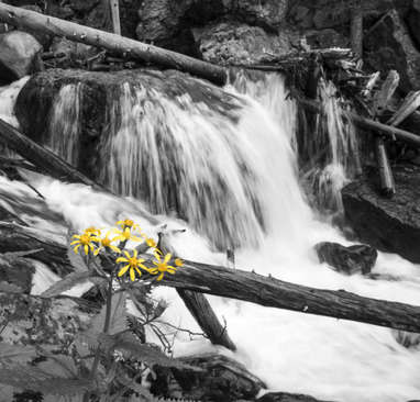 Wildflower at the Falls