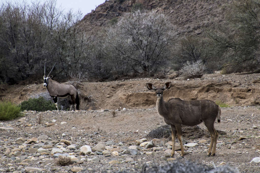 The Kudu and the Oryx