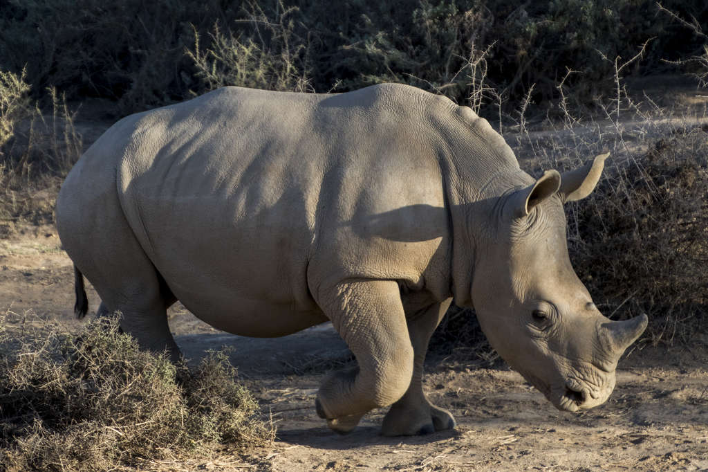 Male White Rhino