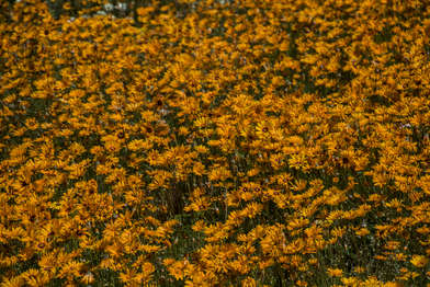 Sea of Marigolds