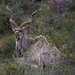 Kudu in the Bushes
